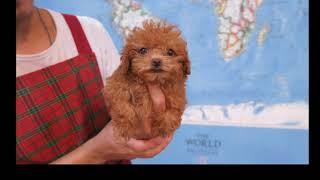 開放認養ADOPTION: 超小茶杯貴賓泰迪 Super Tiny Teacup Poodle 楓紅色 Maple Red 女孩 Female
