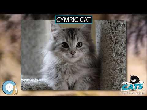 Cymric cat 🐱🦁🐯 EVERYTHING CATS 🐯🦁🐱