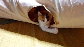 見覚えのあるトンネルで遊ぶ猫 三毛猫(ミロンちゃん) thumbnail