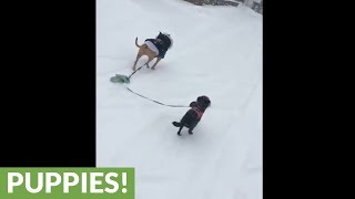 Small dog attached to Pit Bull's leash gets dragged in the snow