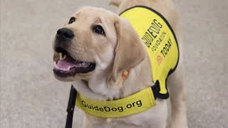 Live: Guide Dog Puppy in Training Visits The Dodo Office - SUNNY | The Dodo