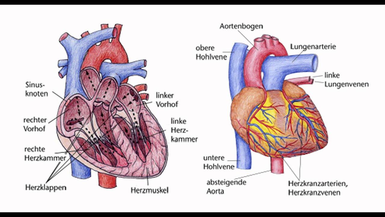 Nett Anatomie Des Herzens Youtube Zeitgenössisch - Anatomie Ideen ...