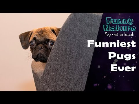 Funny pug dog videos 2016 - try not to laugh - FunnyNature