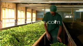 Производство чая. Первый этап. Завяливание.(, 2014-10-16T09:47:39.000Z)