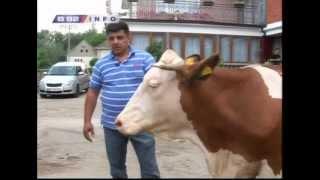 Zasto Srbija uvozi krave ?