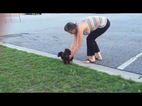 TOY POODLE PUPPIES PLAYING IN GRASS chocolate color beautiful bass pro