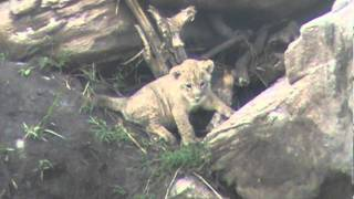 Lioness and lion cubs at Tarangire National Park, Tanzania, November 19, 2011: 4/6