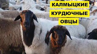 Разведение овец калмыцкой породы как бизнес идея | Овцеводство | Курдючные калмыцкие овцы