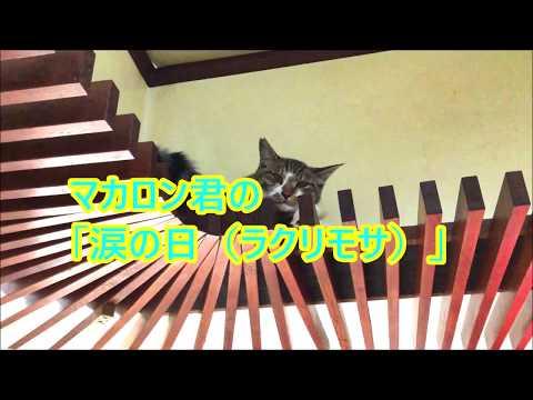 #保護猫 #里親募集中 マカロン君の「涙の日(ラクリモサ)」