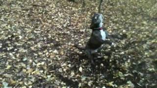 Shady Staffordshire Bull Terrier.mov