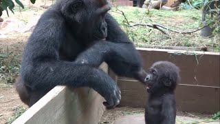 20199ゲンタロウとキンタロウ 14⭐️ゴリラ【京都市動物園】Gorilla  Brothers Gentaro And Kintaro 14