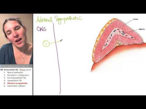 ANS 5- Adrenal sympathetic