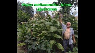Наши табаководы. Видео от Шепи. Дагестан.