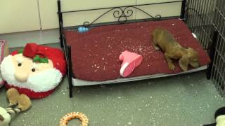 Little Rascals Uk Breeders New Litter Of Miniature Dachshunds