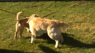 Golden Retriever Lifetime Study Psa - For Veterinarians (30seconds Sponsors
