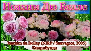 Видео обзор розы Йоахим Дю Белле Флорибунда - Joachim Du Bellay N RP Sauvageot 2005