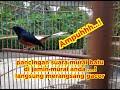Pancingan Murai Sepaya Burung Murai Mau Buka Paruh Dan Berkicau  Mp3 - Mp4 Download