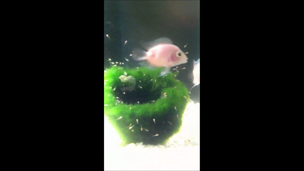 Blood parrot cichlid fry youtube for Blood parrot fish