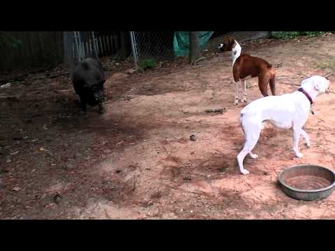Boxers Vs., Pig