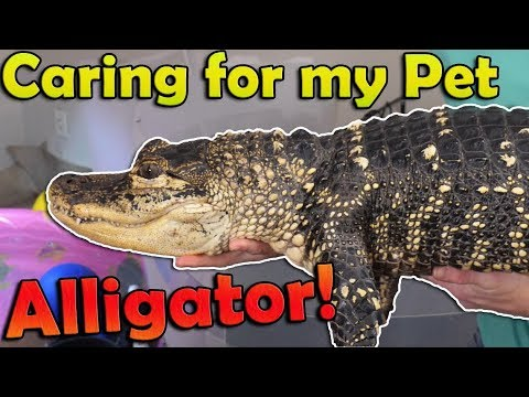 What's Like to Have a Pet Alligator (2019 Edition)