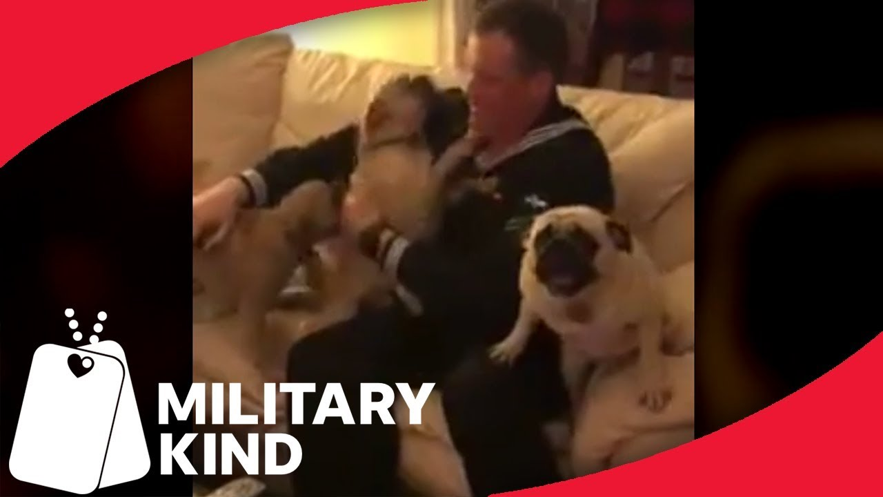 Four Pugs Reunite With One Sailor And The Result Is Hilarious | MIlitarykind