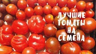 СОБИРАЕМ ТОМАТЫ на семена. Обзор лучших сортов помидор. Мой опыт.