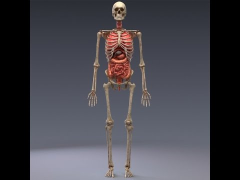 3d model human anatomy animated skeleton internal organs at, Skeleton
