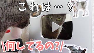 銀の盾で自分を見つめる不思議な猫ハムちゃん