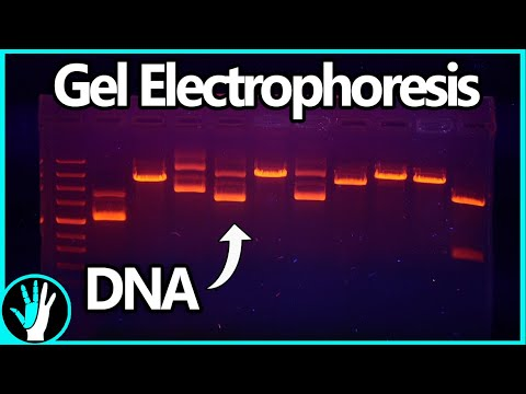 Gel Electrophoresis: How It Works And How To Build A Gel Box For Cheap