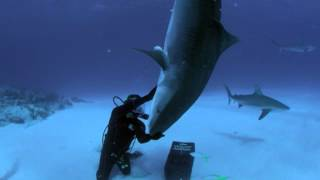 The Tiger Shark Nose Stand | Shark Week On Discovery.ca