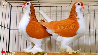 Amazing Fancy Pigeon Collection | 10 Different Type Of Fancy Pigeons