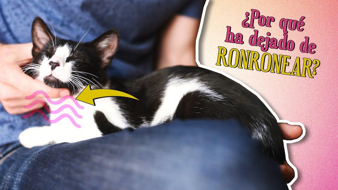 ¿Qué pasa cuando tu GATO deja de RONRONEAR? 😼🔊   Gatos que ronronean VS. gatos que no ronronean
