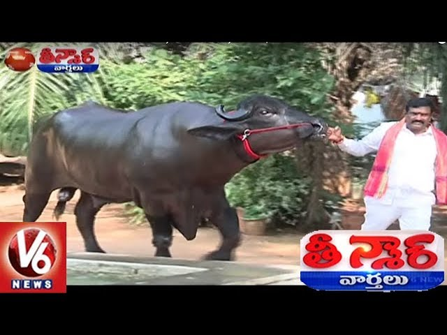 Sadar Festival Celebrations : Buffaloes From Haryana Reaches Hyderabad | Teenmaar News
