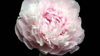 Peony flower timelapse HD(Красивое видео HD распускающийся цветок., 2014-08-29T09:45:59.000Z)