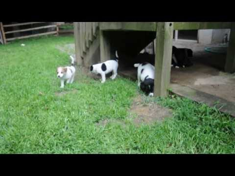 Rescue Pups - Lucy #7 puppies - Border collie, mix, cattle dog?
