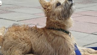 Amber - Cairn Terrier Puppy - 4 Week Residential Dog Training At Adolescent Dogs