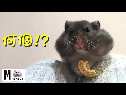 【ハムスター】ハムスターの口にバームクーヘン何個入るか検証してみた!!おもしろ可愛い癒しHow many Baumkuchen in the mouth of the hamster?
