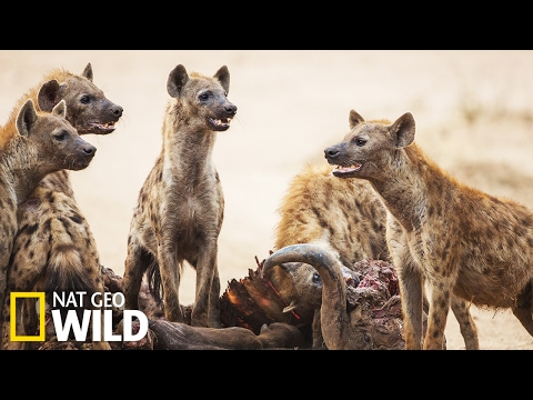 Lionnes vs hyènes - Animal Fight Club