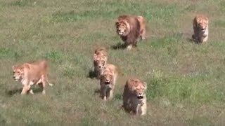 LIVE: Lions Rescued from Circus Play at Wild Animal Sanctuary   The Dodo Live