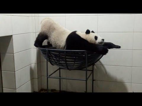 Male Panda Psychs Himself Real High with Self-amusement