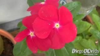 Catharanthus roseus var. species - vinca-de-madagáscar (Apocynaceae)