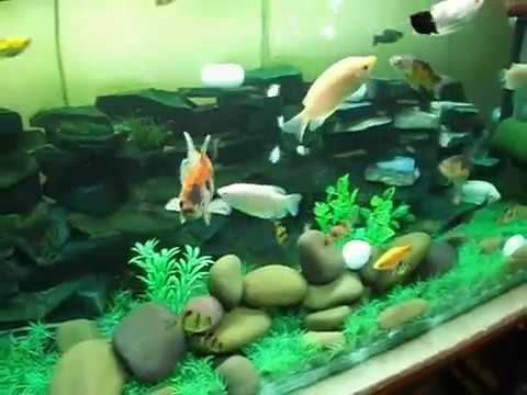 My first big fish tank with koi rosy molly tiger burb prl for First fish tank