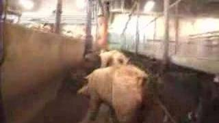 Pig Slaughter 5
