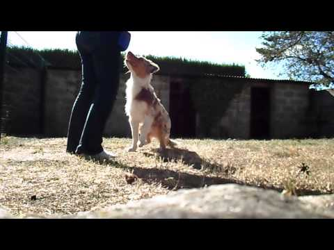 Clicker training puppy AUSTRALIAN SHEPHERD