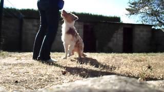 Clicker Training Puppy Australian Shepherd