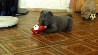 Shar-pei Pups, Blue And Isabella Girls, 1 Month 1 Week