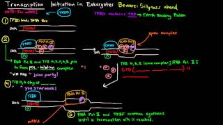 Transcription (Part 4 of 6) - Initiation in Eukaryotes