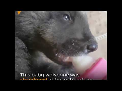Little Wolverine In The Novosibirsk Zoo