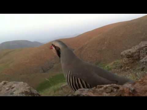 کبک کوردستان