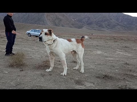 Турнир Тест Испытаний обзор Туркменских собак - Алабай Небит-даг 1 часть